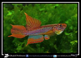 "11 Aphyosemion (Chromaphyosemion) bitaeniatum ""Ijaguna- River"" Nigeria"