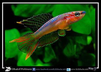 12. Aphyosemion (Chromaphyosemion) omega Kopongo I C 89/35 (Kamerun)