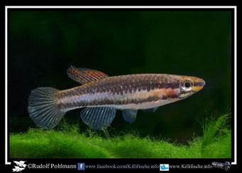 """5 Aphyosemion (Chromaphyosemion) bitaeniatum """"Lagos"""" Nigeria -(female)"""