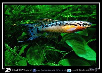 "7 Aphyosemion (Chromaphyosemion) bivittatum ""Funge"" (Gruppe2) Kamerun"