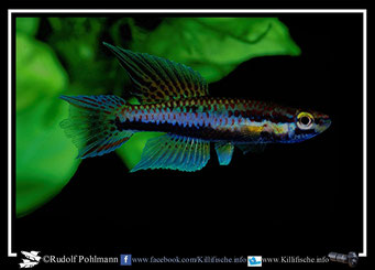 6 Aphyosemion (Chromaphyosemion) malumbresi Ndyiacom 2 GEMHS 00/32 / Terra typica  (Äquatorialguinea)