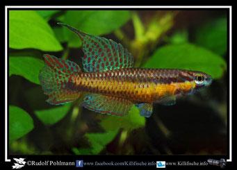 """18. Aphyosemion (Chromaphyosemion) punctulatum """"Ipono ABL 08/213"""" (Kamerun)"""