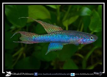 5. Aphyosemion (Chromaphyosemion) riggenbachi Yabassi-Yingui KV 03/27 (Kamerun)