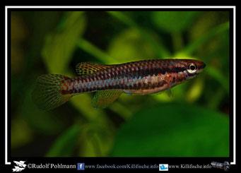 "7 Aphyosemion (Chromaphyosemion) loennbergii ""Lykouk"" female (Kamerun)"