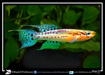 "3 Aphyosemion (Chromaphyosemion) bivittatum ""Biafra""  (Gruppe: 1) Nigeria / Kamerun"