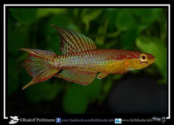 "1. Aphyosemion (Chromaphyosemion) splendopleure ""Tiko CBL 01/25""  (Kamerun)"