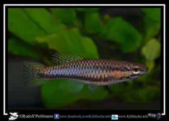 "16. Aphyosemion (Chromaphyosemion) punctulatum ""Bibabimwoto  CMM 22"" female (Kamerun)"