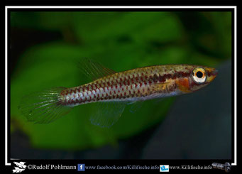 "3 Aphyosemion (Chromaphyosemion) bitaeniatum ""Zagnanado"" Benin-(female)"