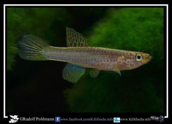 """12. Aphyosemion (Chromaphyosemion) riggenbachi """"ADK 09/299"""" female (Kamerun)"""