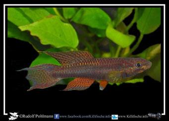 1  Aphyosemion (Chromaphyosemion) malumbresi GEMLCG 07/49 (Äquatorialguinea)