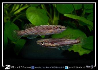 2  Aphyosemion (Chromaphyosemion) malumbresi GEMLCG 07/50 female(Äquatorialguinea)