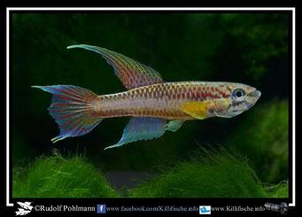 """8. Aphyosemion (Chromaphyosemion) poliaki """"Bolifamba CMM 41"""" (Kamerun)"""