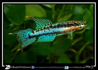 "6 Aphyosemion (Chromaphyosemion) bivittatum ""Mundemba C 91"" (Gruppe3) Kamerun"