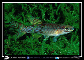 "3 Aphyosemion (Chromaphyosemion) loennbergii ""Makondo CCP 82/7"" female (Kamerun)"