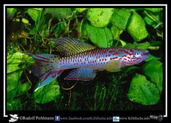 6. Aphyosemion (Chromaphyosemion) riggenbachi Nkwo 97/1 (Kamerun)