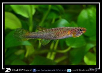 """16. Aphyosemion (Chromaphyosemion) volcanum  """"Monango ABK 07/151"""" female  (Kamerun)"""
