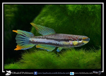 """3. Aphyosemion (Chromaphyosemion)  splendopleure """"Bioko Nsupu GEMHS 00/42"""" (Äquatorialguinea)"""