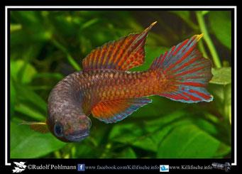 "8 Aphyosemion (Chromaphyosemion) loennbergii ""Bodi"" (Kamerun)"