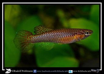 12 Aphyosemion (Chromaphyosemion) omega Kopongo II C 89/36  female (Kamerun)
