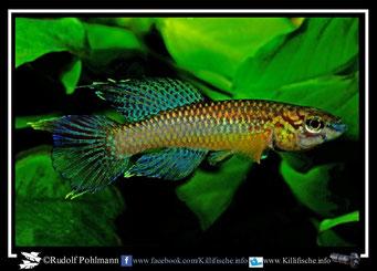 """5. Aphyosemion (Chromaphyosemion) poliaki """"Muea""""  (Kamerun)"""