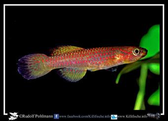 3. Aphyosemion (Chromaphyosemion) riggenbachi Yabassi KV03/28 female (Kamerun)