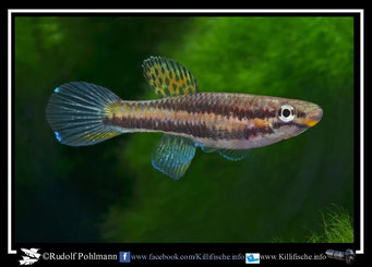 "5 melinoeides Akok ADGP 11/11 und melanogaster ""Akok ADGP 11/11"" female (Kamerun)"