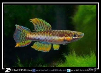 """10 Aphyosemion (Chromaphyosemion) melanogaster """"Pongo II AP 13/531"""" (Kamerun)"""