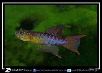 """11. Aphyosemion (Chromaphyosemion) volcanum  """"Ngenge River ADK 11/462 """"  (Kamerun)"""