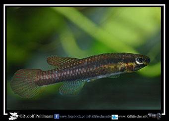 """1. Aphyosemion (Chromaphyosemion) splendopleure """"Big Ikange Tiko C 03/46"""" female  (Kamerun)"""