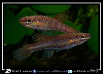 """20 Aphyosemion (Chromaphyosemion) sp.Niger """" Oba, Onitsha NA 2004/2"""" Nigeria -(female)"""
