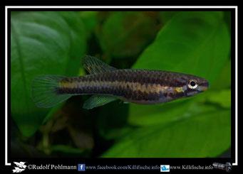"6 Aphyosemion (Chromaphyosemion) lugens ""Afan Essokie KV 03/40"" female  (Kamerun)"