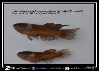 """7 Aphyosemion (Chromaphyosemion) bivittatum """"Funge 2001 """"  (Formalin 5%)"""