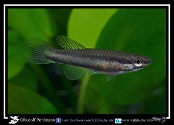 """8. Aphyosemion (Chromaphyosemion) poliaki """"Bolifamba"""" female (Kamerun)"""