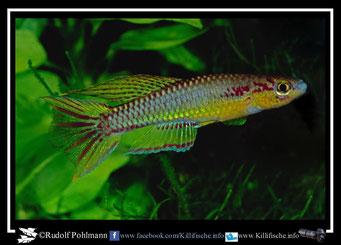"""4. Aphyosemion (Chromaphyosemion) koungueense """"Mangoule"""" (Kamerun)"""