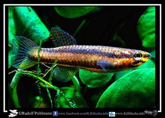 12. Aphyosemion (Chromaphyosemion) omega Kopongo I C 89/35 female (Kamerun)