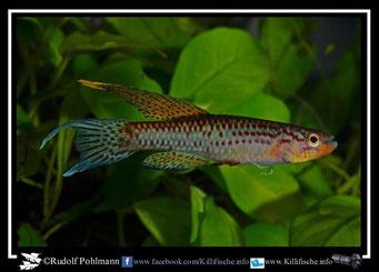 """7 Aphyosemion (Chromaphyosemion) lugens (melinoeides?) """"ADK 09/292"""" (Kamerun)"""