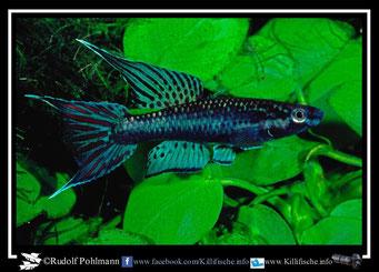 "6 Aphyosemion (Chromaphyosemion) lugens ""Afan Essokie HLM 99/28"" (Kamerun)"