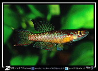 "16. Aphyosemion (Chromaphyosemion) punctulatum ""Bibabimwoto  ABC 05/51"" (Kamerun)"