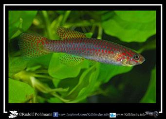 2. Aphyosemion (Chromaphyosemion) riggenbachi Yabassi- Loum KV 03/29 female  (Kamerun)