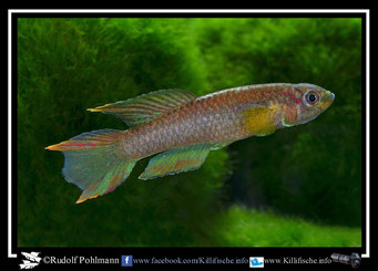 """20. Aphyosemion (Chromaphyosemion) volcanum  """"Moliwe C 03/1 """"  (Kamerun)"""