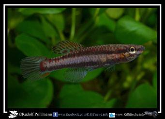"""7 Aphyosemion (Chromaphyosemion) bivittatum """"Funge 2013 """"  female  (Gruppe2) Kamerun"""
