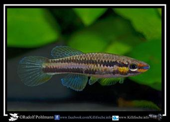 """3. Aphyosemion (Chromaphyosemion)  splendopleure """"Bioko Nsupu GEMHS 00/42"""" female (Äquatorialguinea)"""