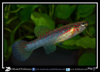 "12. Aphyosemion (Chromaphyosemion) riggenbachi ""Cellucam ABK 07/132"" female (Kamerun)"