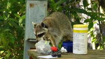 Waschbären gibt es überall zu Hauf... - Collier-Seminole State Park, FL, USA