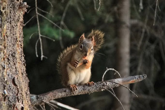 Squirrel, Liard Highway, Kanada