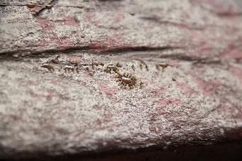 Mompiche - Ameisen machen sie über Frühstücksreste her