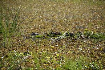 Mburucuya N.P., Krokodil