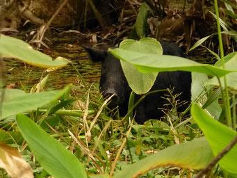 Wildschweine, Highland Hammock State Park, FL, USA