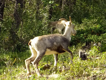 Bighorn-Sheep, Cassiar Highway, British Columbia