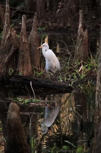 Seidenreiher, Highland Hammock State Park, FL, USA